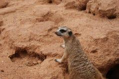 Sul - africano Meerkat 2 foto de stock