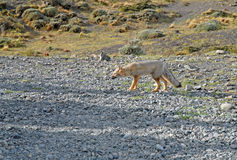 Sul - americano Gray Fox Fotografia de Stock Royalty Free