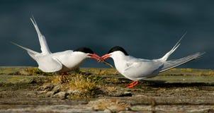 Sul - andorinhas-do-mar americanas Fotografia de Stock Royalty Free