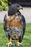 Sul - buzzard africano do jackal Imagem de Stock