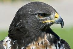 Sul - buzzard africano do jackal fotos de stock