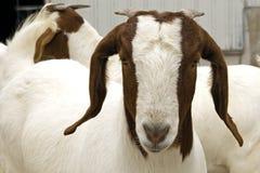 Sul - cabra do furo do africano Imagem de Stock