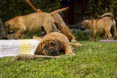 Sul - cachorrinho de Boerboel do africano Imagem de Stock