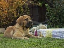 Sul - cachorrinho de Boerboel do africano Foto de Stock
