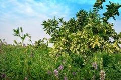 Sul - campo africano da alfafa com flores roxas imagens de stock royalty free