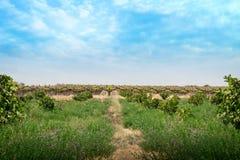 Sul - campo africano do vinhedo e da alfafa fotografia de stock royalty free