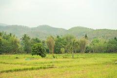 Sul campo verde e sulle belle risaie fotografia stock libera da diritti