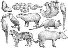 Sul - cole??o animal americana, ilustra??o, desenho, gravura, tinta, linha arte, vetor ilustração royalty free