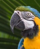 Sul colorido - Macaw americano Imagem de Stock