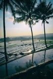 3Sul da Ásia cultivou Paddy Field Imagens de Stock Royalty Free
