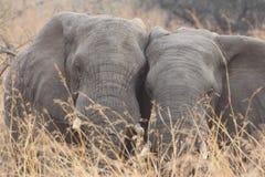 Sul - elefante africano Fotos de Stock