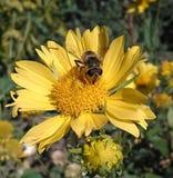 Sul fiore, l'ape raccoglie il nettare ed il polline immagine stock libera da diritti