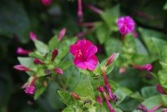 Sul - flor africana do jardim fotos de stock royalty free