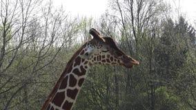 Sul - girafa africano video estoque