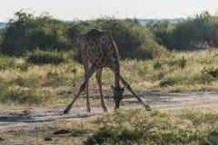 Sul - girafa africano que dobra-se com pés espalhados Imagem de Stock Royalty Free
