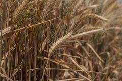 Sul grano vicino del grano Fotografie Stock Libere da Diritti
