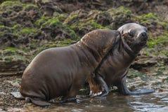 Sul - leão de mar americano Imagens de Stock Royalty Free
