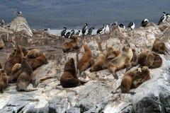 Sul - leões de mar americanos, Tierra del Fuego Fotografia de Stock