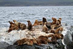 Sul - leões de mar americanos, Tierra del Fuego Foto de Stock