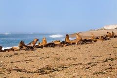 Sul - leões e selos americanos de mar Fotos de Stock Royalty Free