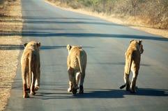Sul - leões africanos na estrada Imagem de Stock Royalty Free