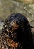 Sul - lobo-marinho africano (pusillus do Arctocephalus) Fotografia de Stock
