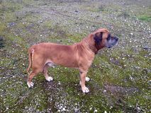 Sul - mastiff africano Imagens de Stock Royalty Free