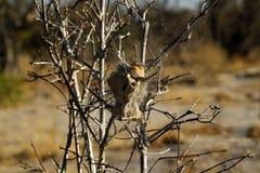 Sul - ninho africano da árvore das aranhas Foto de Stock Royalty Free