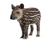 Sul novo - tapir americano, isolado, 41 dias velho Foto de Stock