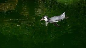 Sul - o humboldti do Spheniscus do pinguim de Humboldt do americano igualmente chamou o patranca que salta na água, na natação e  filme