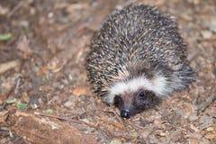 Sul - ouriço africano no assoalho da floresta Imagem de Stock Royalty Free
