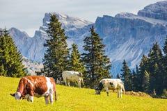 Sul pendio di collina che pasce tre mucche Immagini Stock Libere da Diritti