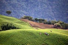 Sul pendio di collina di Taiwan, i lavoratori sono raccoglienti e selezionanti i loro prodotti dai raccolti immagine stock libera da diritti