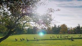 Sul prato verde cammina la moltitudine di oche del Canada Chiaro giorno di autunno, prima del tramonto archivi video