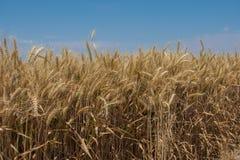 Sul raccolto di grano vicino del grano Fotografie Stock Libere da Diritti