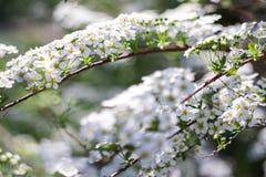 Sul ramo lo spirea ha fiorito molti piccoli fiori Struttura o fondo immagine stock libera da diritti