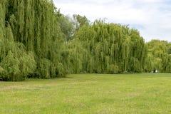 Sul Reno in Germania con una grande parete degli alberi di salice d'argento fotografie stock libere da diritti