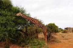 Sul safari Immagini Stock