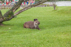 Sul - tapir americano Foto de Stock Royalty Free