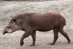 Sul - tapir americano (terrestris do Tapirus) Foto de Stock Royalty Free