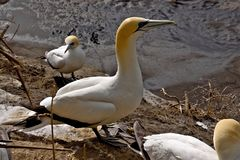 Sula Australasian della colonia costiera, morus serrator, isola del Nord della Nuova Zelanda fotografie stock