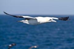 Sula bassana. Gannet Bird Sky Blue White Stock Image