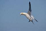 Sula bassana. Gannet Bird Sky Blue Wildlife Stock Image