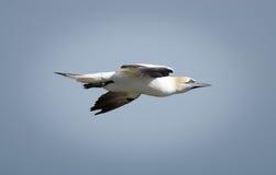 Sula - Morus - Sulidae - scogliere di Bempton - North Yorkshire Fotografia Stock Libera da Diritti