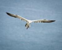 Sula - Morus - Sulidae - scogliere di Bempton - North Yorkshire Fotografie Stock Libere da Diritti