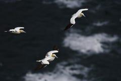 Sula nordica - bassana della sula, Shetland, Kingdome unito fotografia stock