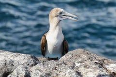 sula punta nebouxii острова galapagos голубого floreana эквадора cormorant олуха footed Стоковая Фотография
