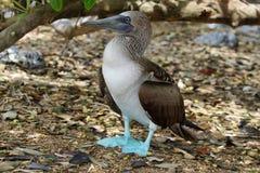 sula punta nebouxii острова galapagos голубого floreana эквадора cormorant олуха footed Стоковые Фотографии RF