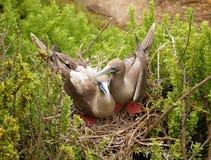 Sula rosso-footed della sula della testa di legno di Galapagos di paia Fotografia Stock
