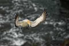 Sula serrator - Australian Gannet - takapu flying above the nesting colony in New Zealand stock images